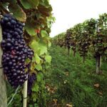 Germany wine market: growth and opportunities
